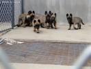 一窝精品马犬出售,两三个月的马犬多少钱,成年马犬