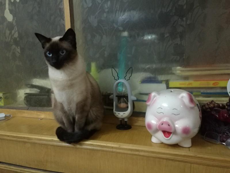 沧州市区转让家养暹罗猫成母一只