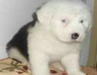cku注册五星级犬舍 双血统古代牧羊犬可上门挑选