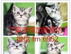 今天付款包邮/纯种异国短毛猫幼猫活体宠物加菲猫蓝猫