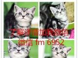 出售美国短毛猫 虎斑纹清晰漂亮活泼可爱大气的美短