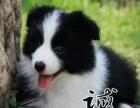 珠海哪里有卖狗的 珠海买边境牧羊犬价格多少 正规信誉狗场