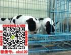 郑州土豪款奶油法牛品相极品疫苗齐全法国斗牛犬出售