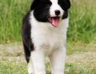 边境牧羊犬专业繁殖 可基地挑选 签协议包健康送用品