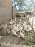 大量出售肉鸡肉鹅,安全有保障,需要的联系!