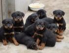 精品护卫犬罗威纳幼犬 凶猛忠诚纯种健康保障