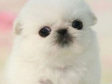 京巴犬哪有卖的/宠物店狗市在哪里