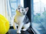 美短猫纯种猫咪活体宠物猫幼崽短毛猫美短加白起司