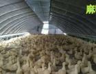 公司长期供应各种鸡鸭鹅优质种苗包打防疫支持全国发货