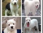 萨摩耶幼犬 纯种犬养殖基地 萨摩耶犬包纯种健康