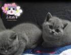 【三顾猫屋】CFA血统 英国短毛猫蓝色英短蓝猫鉴赏