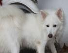 本人有一只银狐犬,因家中无人照看,现想转让,价格再议。