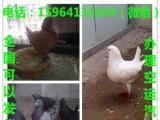 湖南落地王鸽多少钱一对白羽王鸽肉鸽市场价格
