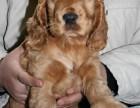 泉州哪有可卡犬卖 泉州可卡犬价格 泉州可卡犬多少钱