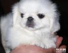 自家京巴狗狗免费找人领养 公母都有 喜欢的可以和我联系