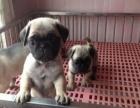 宜昌市哪里有卖巴哥犬 纯种巴哥 多少钱