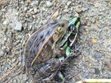 青蛙养殖基地直销青蛙苗 黑斑蛙苗 成活率高个头大生成迅速