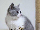 家养纯种健康英国短毛猫出售 可签订售后协议
