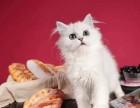 猫舍直销出售英短美短金吉拉布偶暹罗全国统一批发价