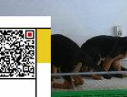 养殖场直销德国黑背犬等幼犬 品种齐全 包健康