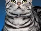 南宁 哪里有美短猫虎斑加白卖纯血统萌翻你的眼球 品质保障