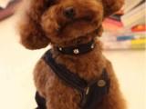 人见人爱超萌泰迪宝宝 纯种健康质保 签订购犬协议