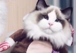 出售海双蓝双布偶猫/加菲猫/英短/折耳猫包纯种包健康