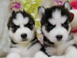 东莞本地 出售哈士奇幼犬狗狗包健康纯种售后无忧