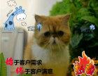 纯种健康 疫苗做完 可体检保健康波斯猫咪出售