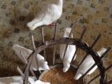 幼鸽,中年鸽,种鸽