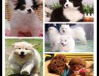 上海出售比熊狗狗拉布拉多犬价格阿拉斯加出售