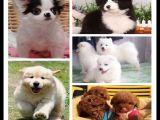 上海出售比熊狗多少钱一只纯种德国牧羊犬