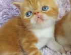 精品加菲猫多只在售 签协议包健康CFA猫舍专业繁殖