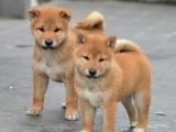 西安出售纯种日本柴犬 日本秋田犬日本柴犬宠物狗狗包健康包纯种