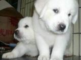 狗场里的大白熊能不能养活 价格贵不贵