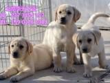 北京哪里出售拉布拉多 拉布拉多幼犬 拉布拉多价格