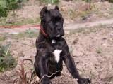 嘉兴哪有卡斯罗犬卖 嘉兴卡斯罗犬价格 嘉兴卡斯罗犬多少钱