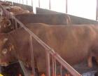 奶牛好饲养吗-奶牛我们更专业肉牛品种主要有西门塔