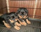 罗威纳犬纯种家养繁殖罗威纳狗出售精品家养活体宠物狗