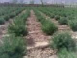 优质白皮松苗 占地白皮松苗 定植白皮松价格