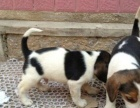 缉毒犬比格 纯种比格出售中 CKU认证血统 质量