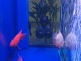 金龙35+菠萝鹦鹉