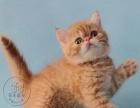 专业猫舍繁殖大眼睛加菲猫 五短身材包子脸