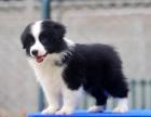 纯种高品质边牧幼犬出售 疫苗驱虫 保证健康可签协议