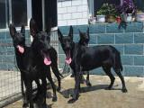 纯种墨界黑狼 自家养殖 品相一流 包健康 上门选狗