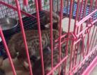 出售一窝孟加拉豹猫