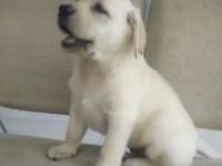 成都出售纯种拉布拉多犬 自家养殖的 保证血统纯正 健康