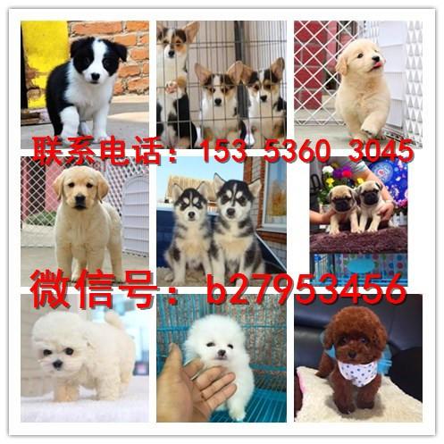 昆明犬舍对外售卖拉布拉多犬 拉布拉多犬图片 买拉布拉多犬价格