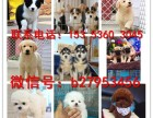 石家庄犬舍对外售卖萨摩犬 萨摩犬图片 买萨摩犬价格