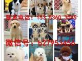 兰州犬舍对外售卖金毛犬 金毛犬图片 买金毛犬价格